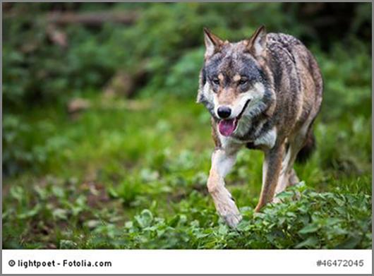 Ein uralter Begleiter des Menschen: der Wolf