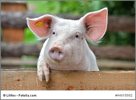 Kam im frühen Mittelalter oft auf den Tisch: Schweinefleisch